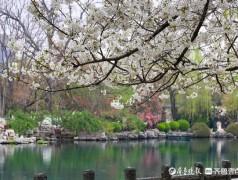 济南五龙潭公园的樱花竞相开放